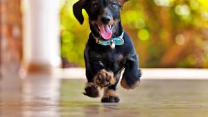 Animals___Dogs_Joyful_dachshund_runs_084264_25